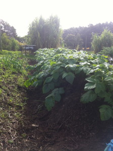 newly planted spuds